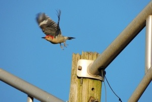 Red-bellied Woodpecker - just leaving
