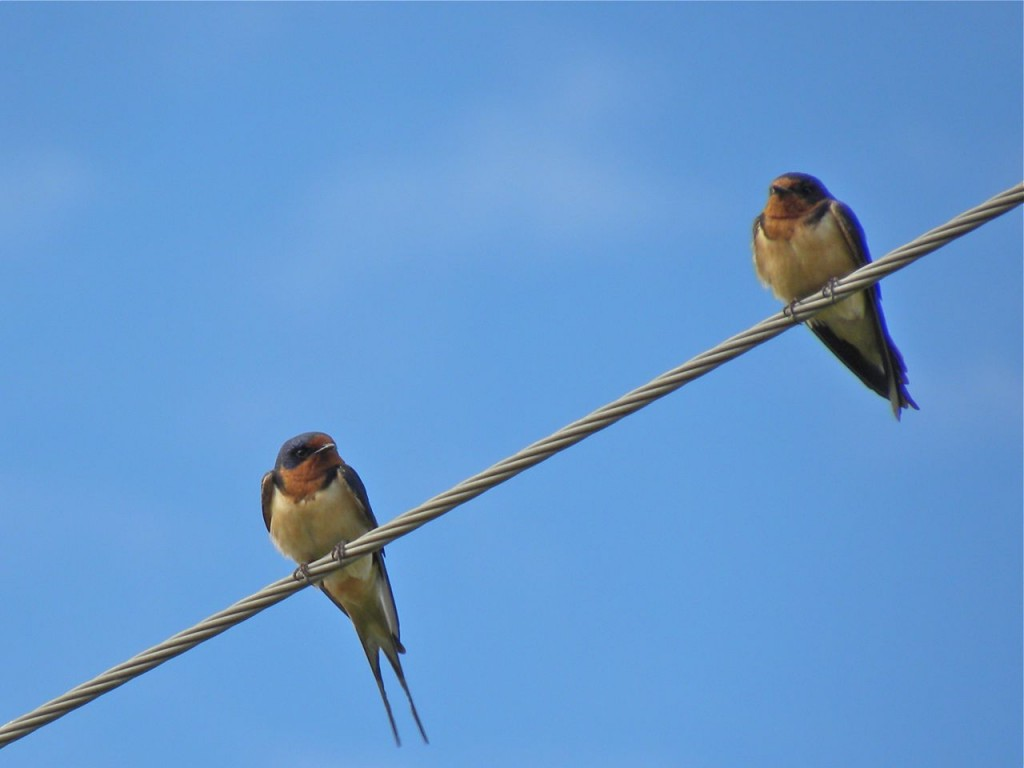 Barn Swallows. July 20 2012