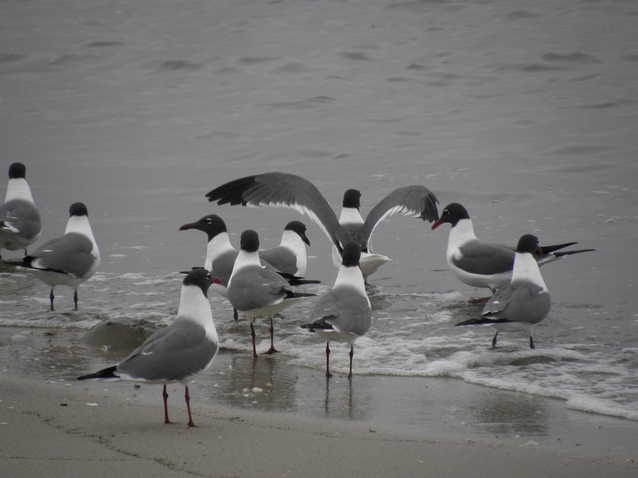Laughing Gulls. Cape May N.J.