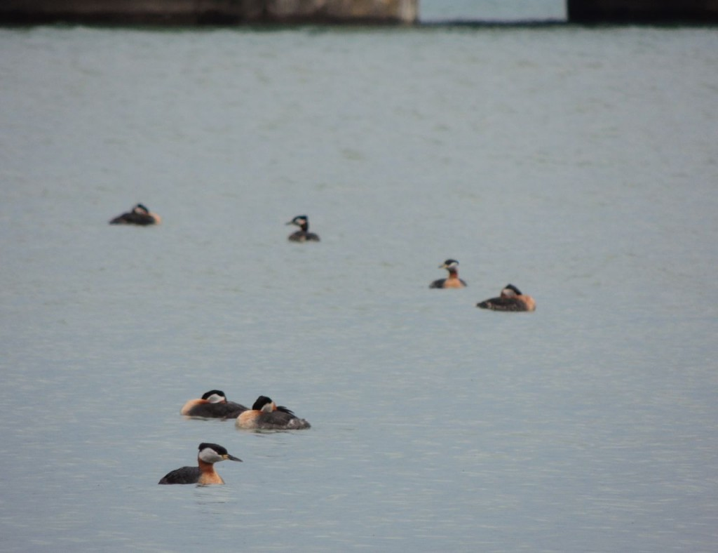 Just seven of over 50 Red-necked Grebes.