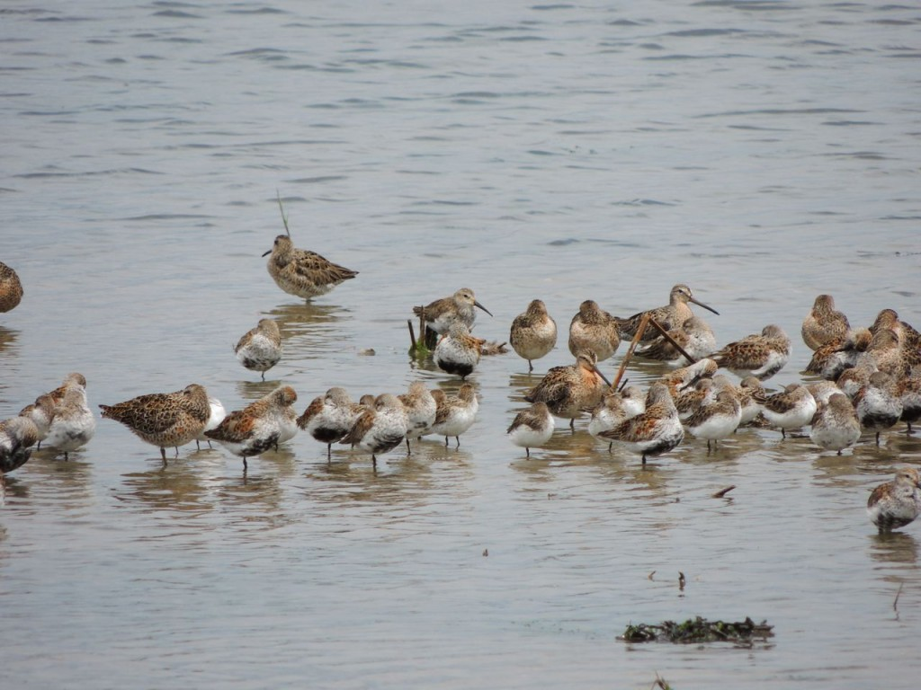Dunlin and Short-billed Dowitchers