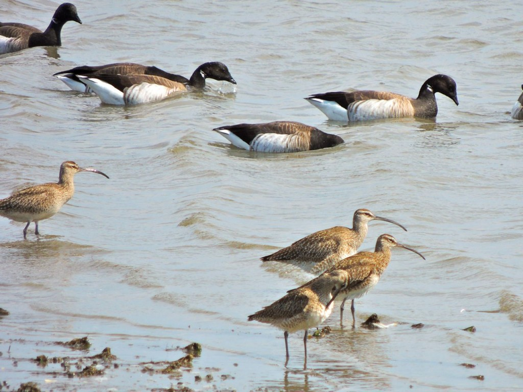 Whimbrel and Brant