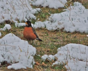 American Robin in late snow