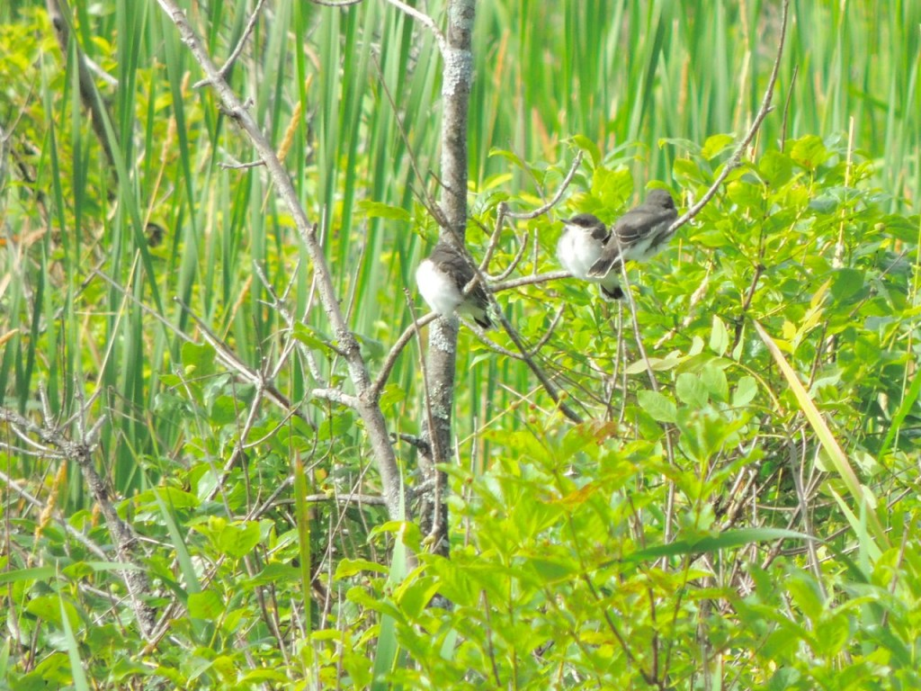 Eastern Kingbirds fledglings