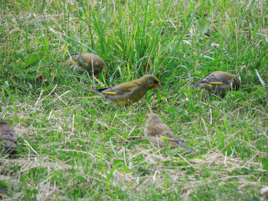 Foraging Greenfinches. Skogskyrkogarden