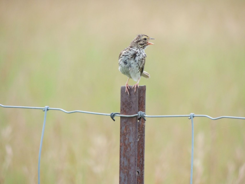 Savannah Sparrow in moult