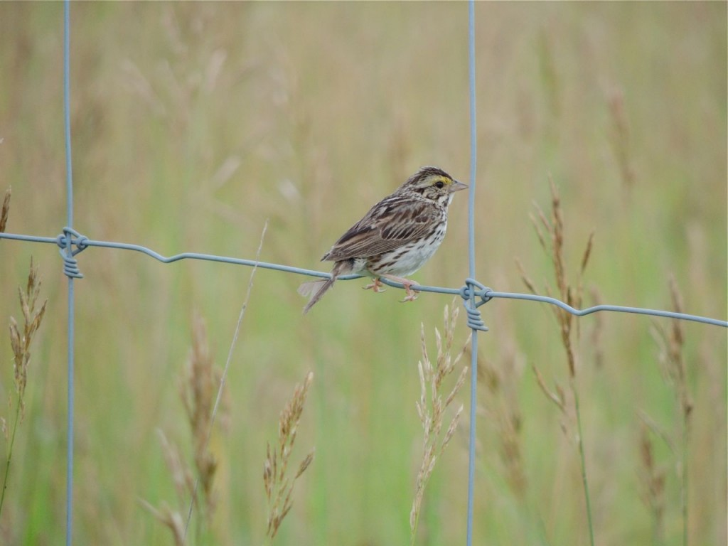 Savannah Sparrow in moult (note tail feather)