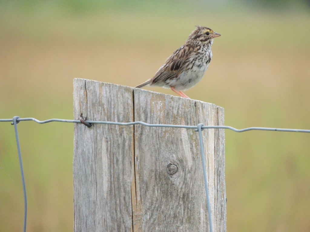 Savannah Sparrow (molting)