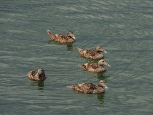 Youngish Common Eiders