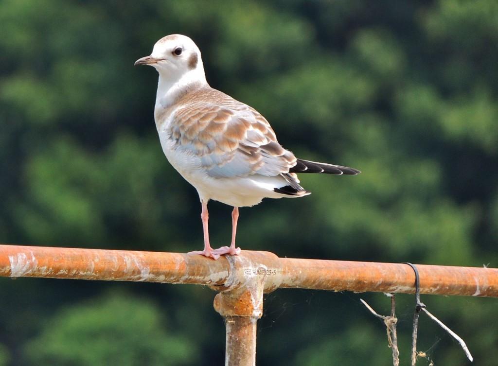 Juv. Bonaparte's Gull