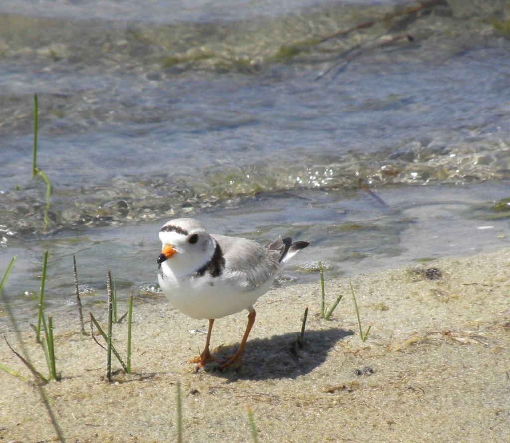 Piping Plover. Cape May N.J.