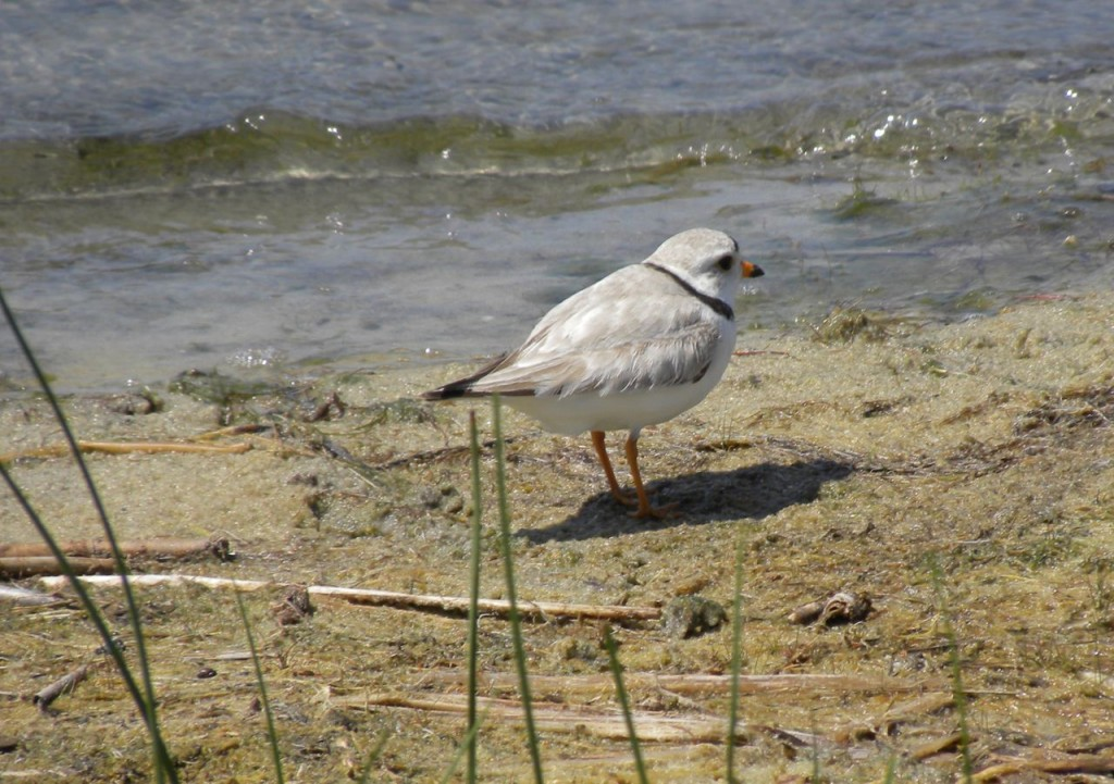 Piping Plover. Cape May N.J.-2