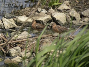 Short-billed Dowitcher pair Townsend 1