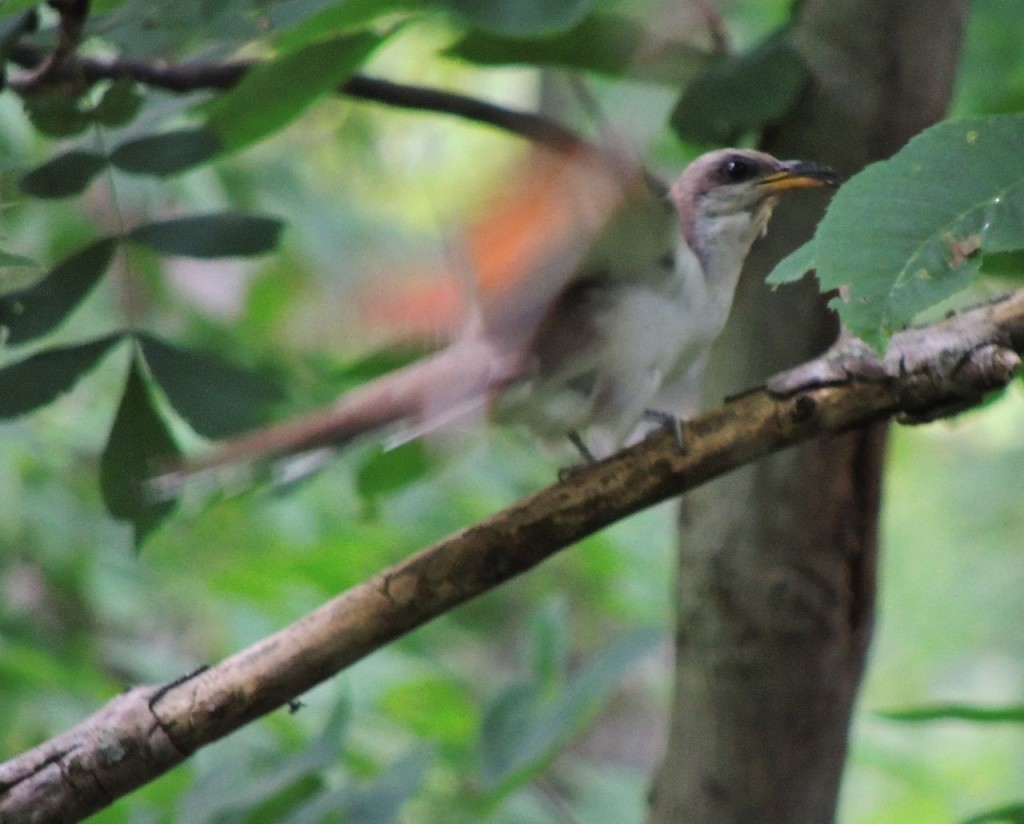 Agitated Yellow-billed Cuckoo