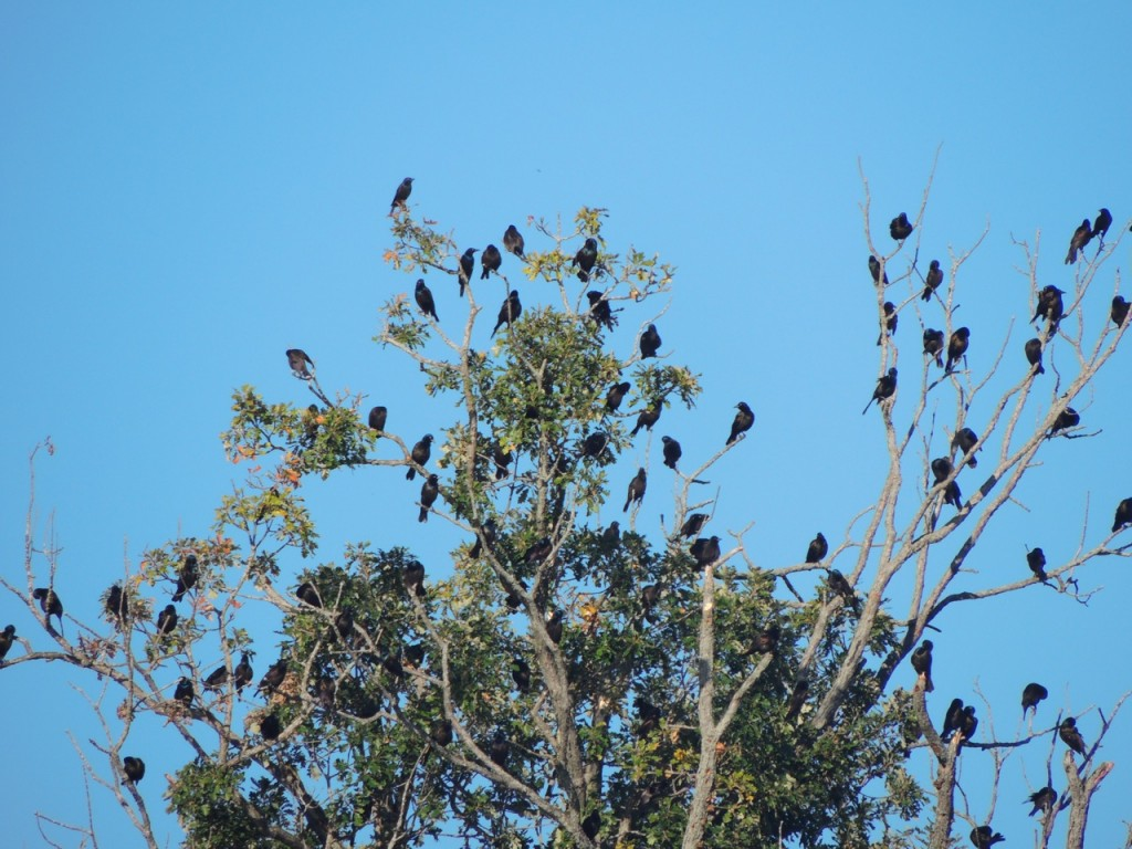 A trifling few of the blackbirds.  Mostly Common Grackles in this shot