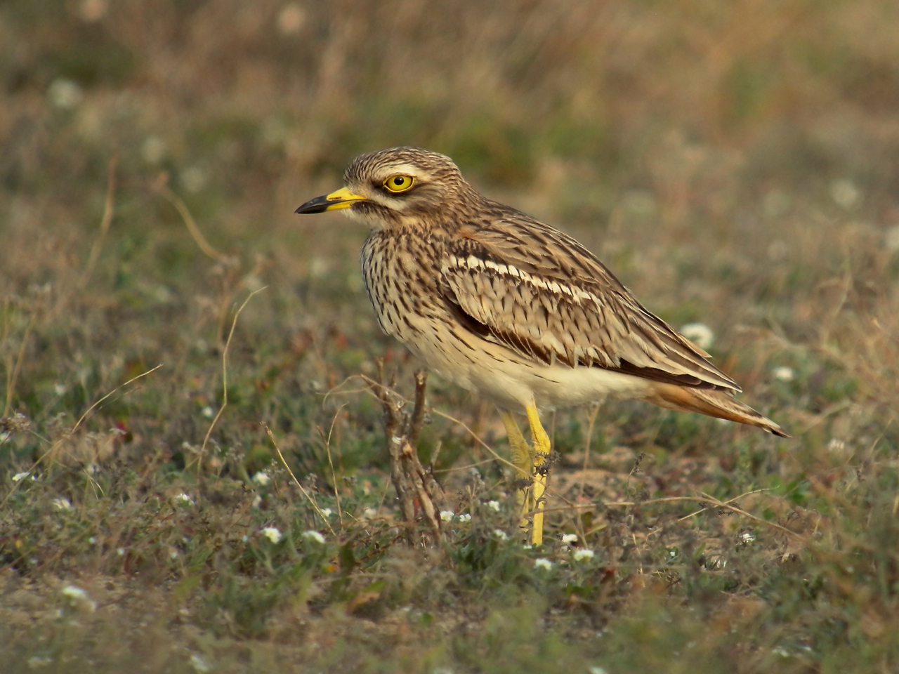 Stone-curlew in Lanzarote. Photo by Frank Vassen