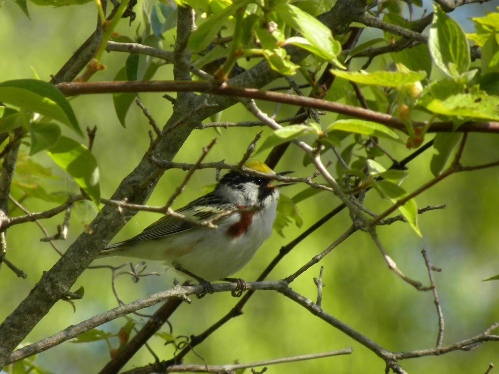 Chestnut-sided Warbler. (adult male photographed in May 2012)