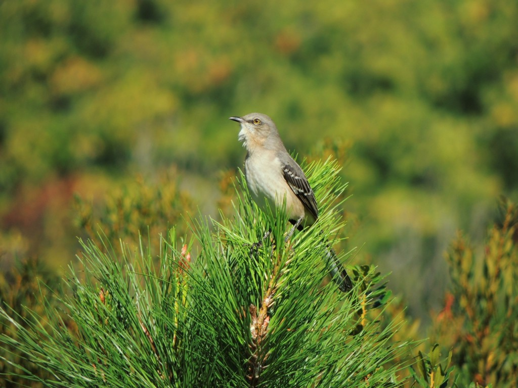 Northern Mockingbird in full song