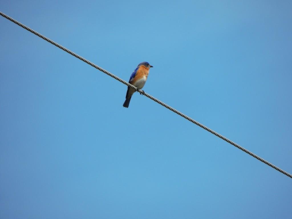 Eastern Bluebird (male) RP