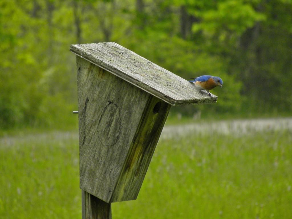 Eastern bluebird May 29 2011