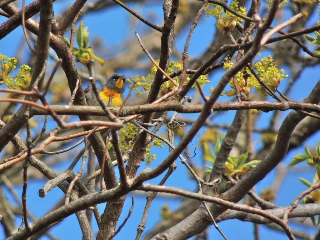 Northern Parula Cape May