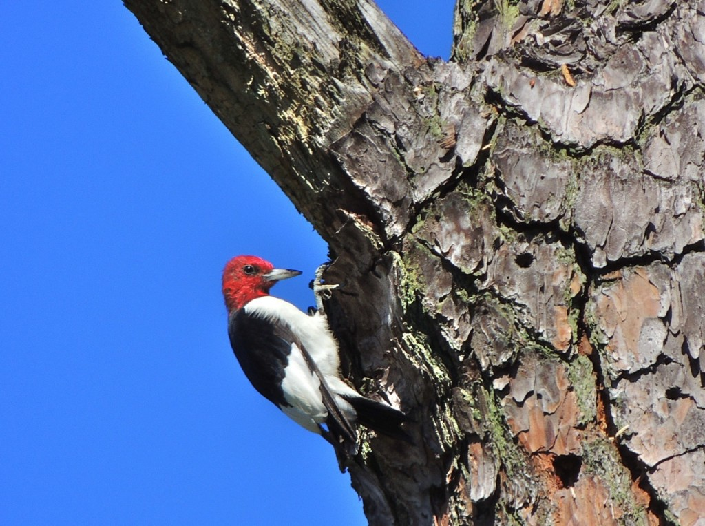 Red-headed Woodpecker-3