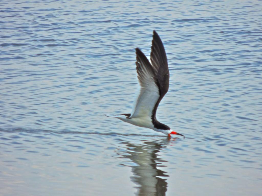 Black Skimmer feeding by skimming
