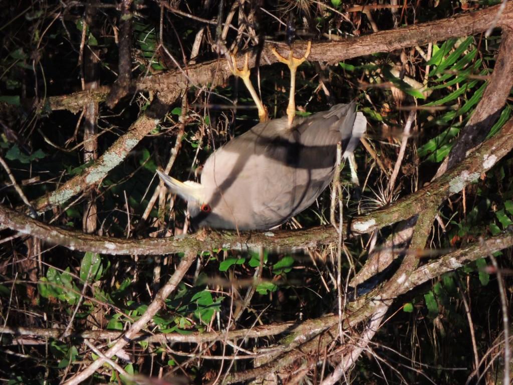 Black-crowned Night Heron reflected in mangrove swamp