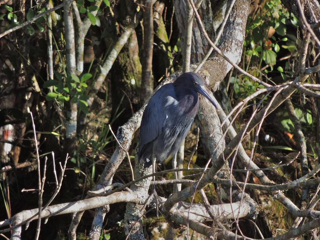 Little Blue Heron, Turner River Florida