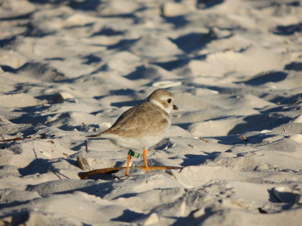 Piping Plover,
