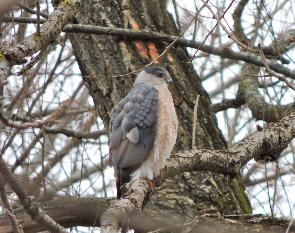 Adult  Sharp-shinned Hawk. Blue/grey back and finely barred breast.