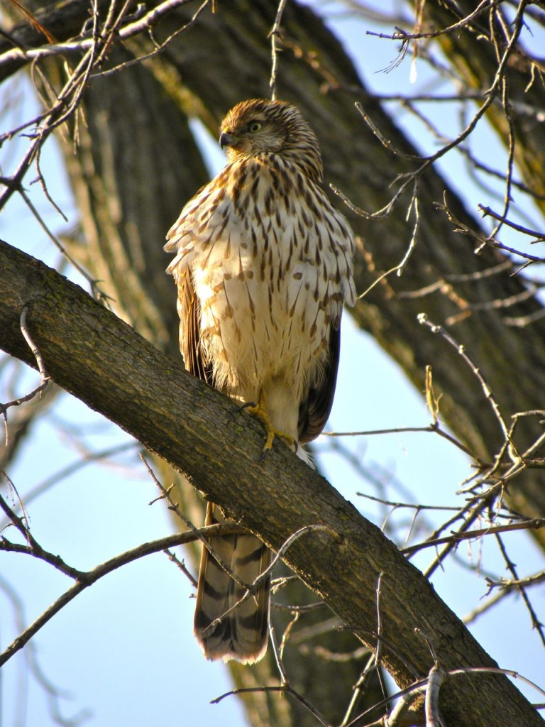 Sharp-shinned Hawk, a first year bird.  Brown back and wings, brown spots and streaks on chest.