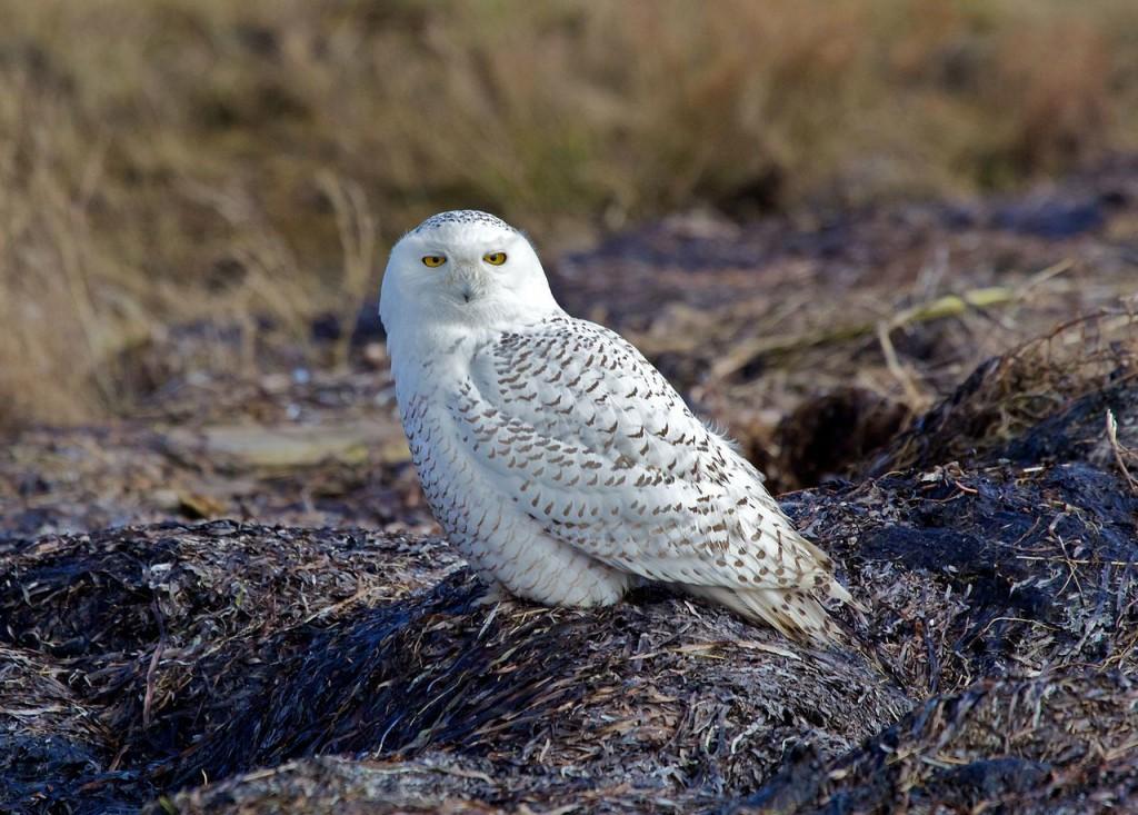 Snowy Owl. Photo by David Syzdek
