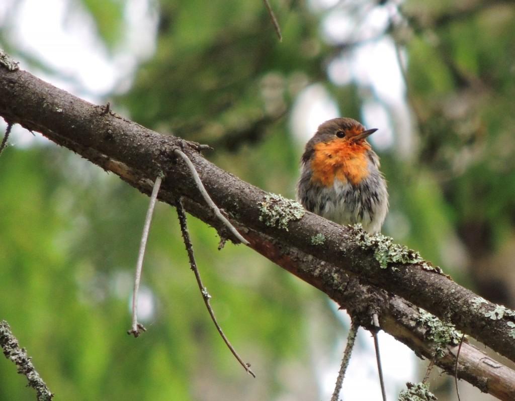 European Robin photographed in Sweden June 2014