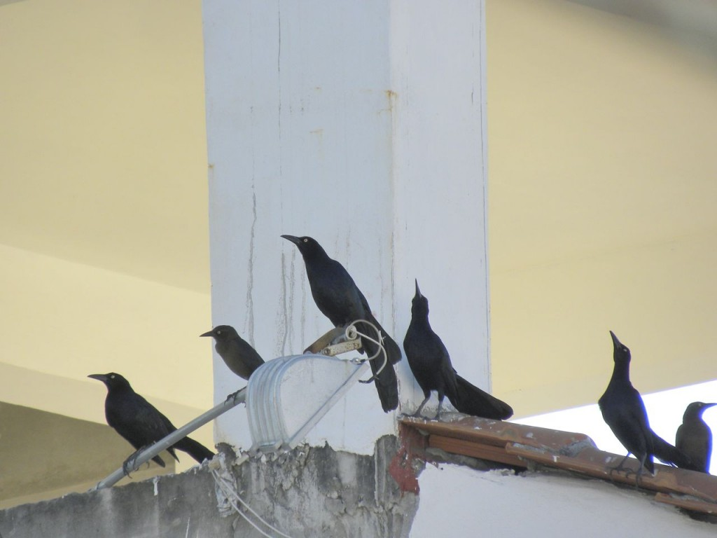 Great-tailed Grackles. Just entertainment - not a hint.