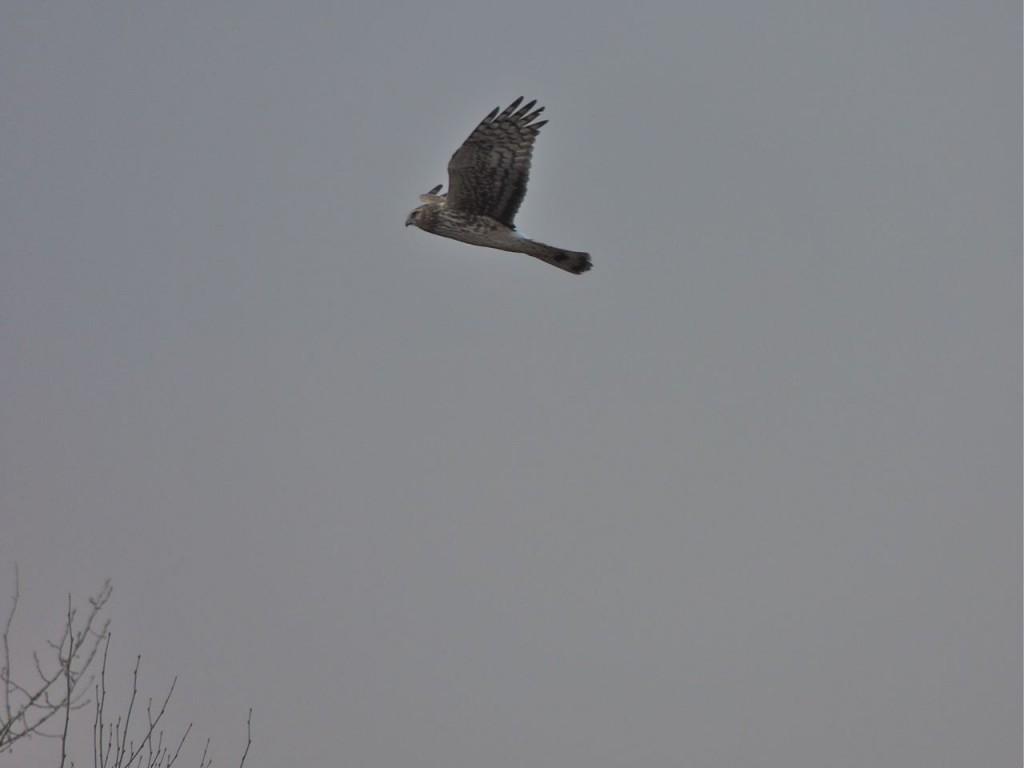 Northern harrier at Badenoch