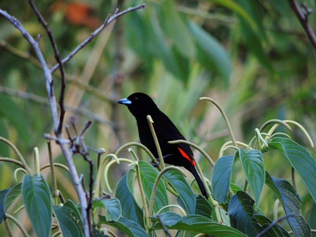 Cherrie's Tanager (m)