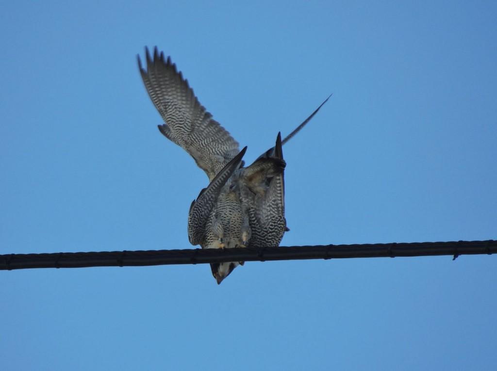 Peregrine Falcon sex