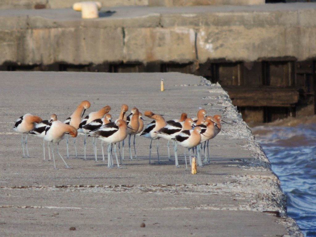 American Avocets Bronte Harbour copy