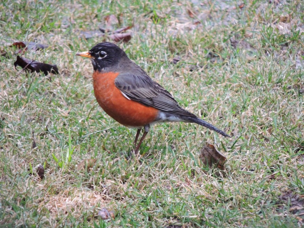 American Robin in our back yard