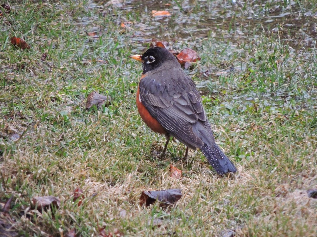 American Robin in our back yard-2