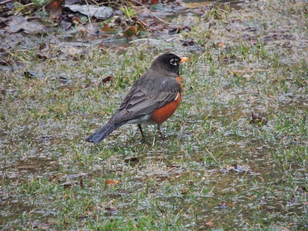 American Robin in our back yard-3