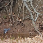 Belted Kingfisher plunge