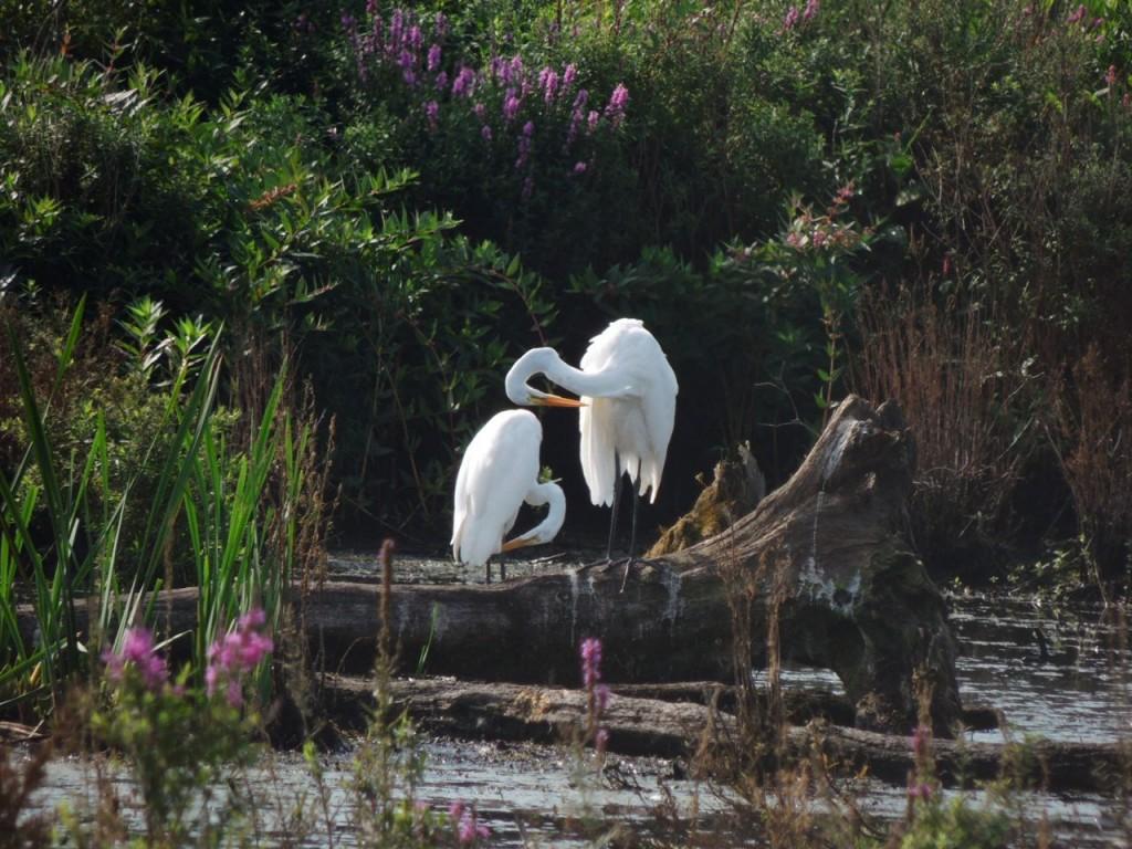 Great Egrets in September