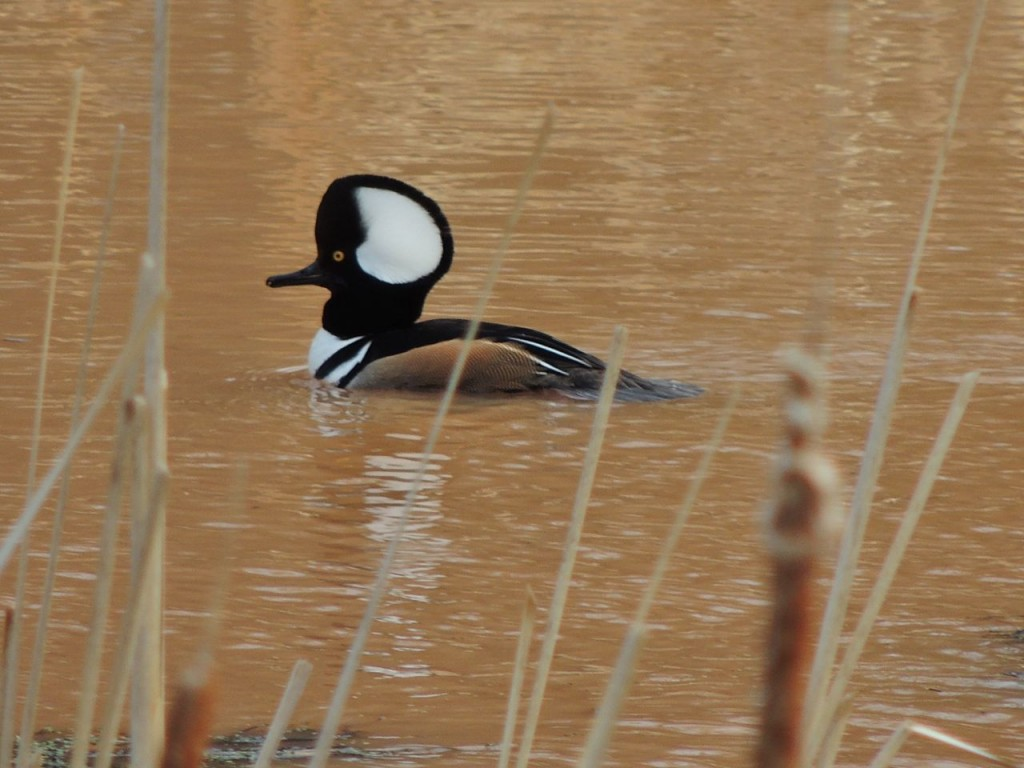 Hooded Merganser in Hendrie Valley