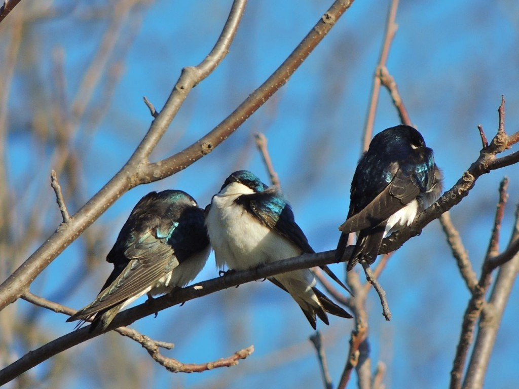 Tree Swallows waiting out a cold wind