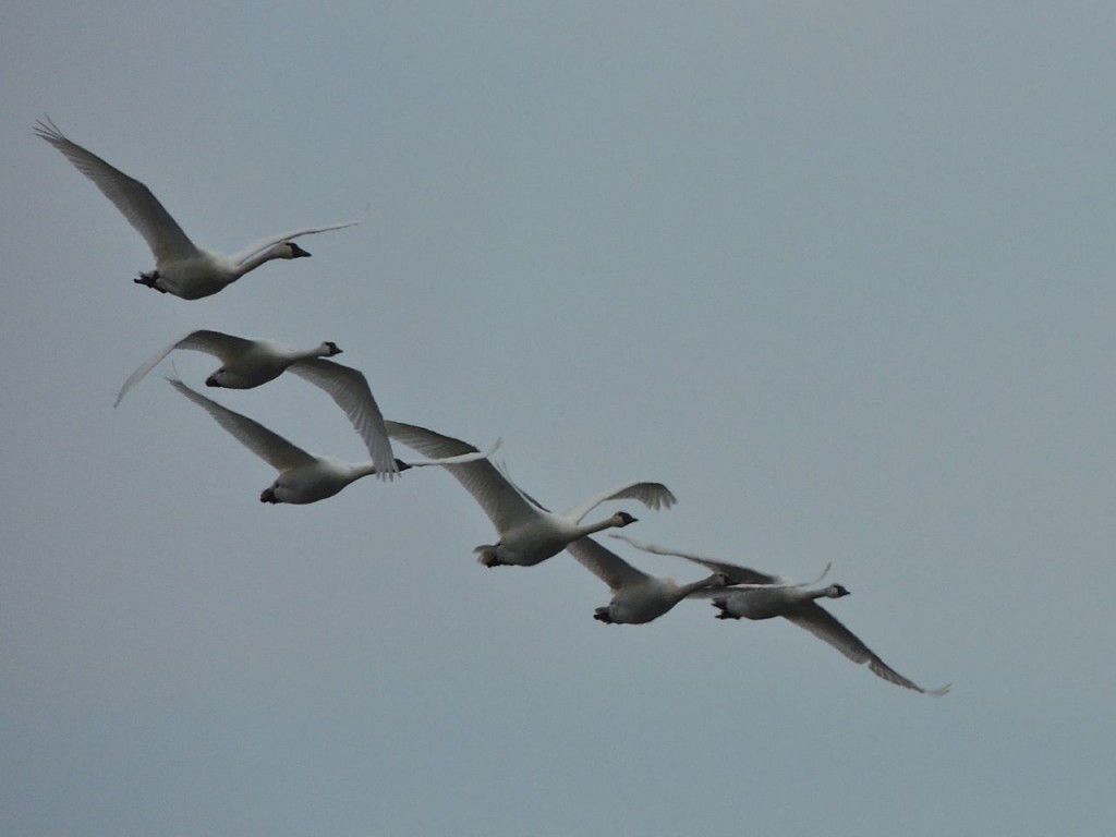 Tundra Swans approaching