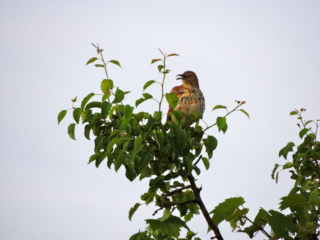 Brown Thrasher ( a little later in the year)