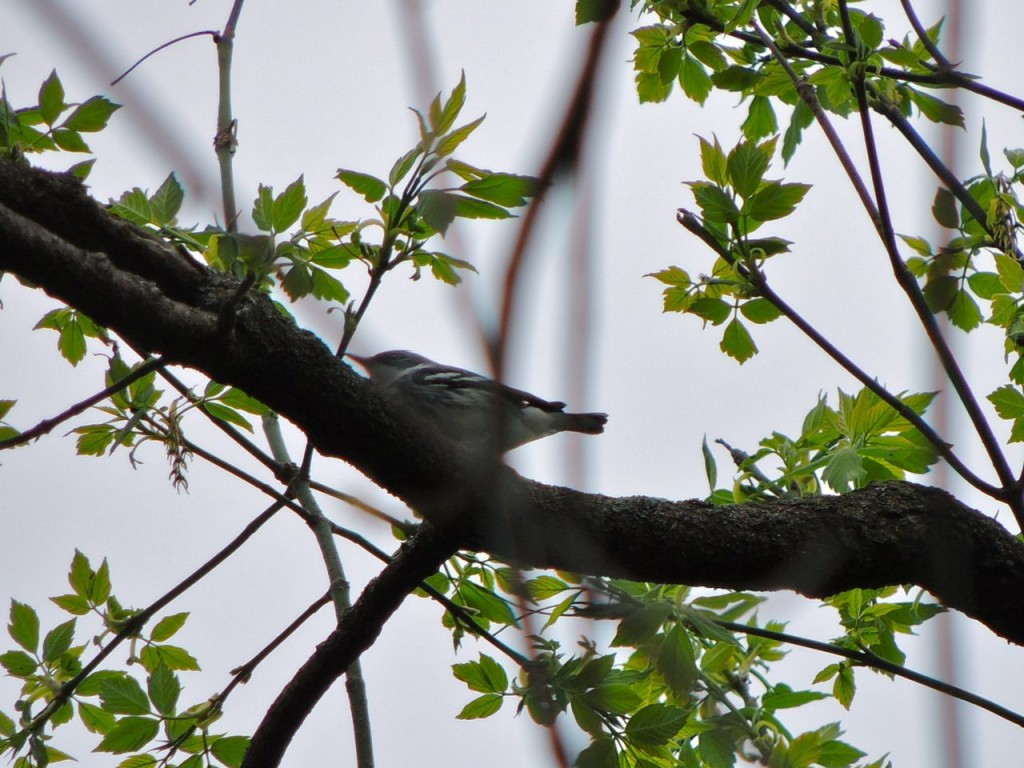 Cerulean Warbler2