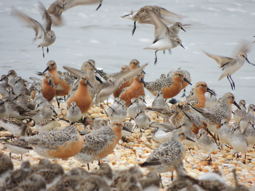 Red Knots and Semi-palmated Sandpipers